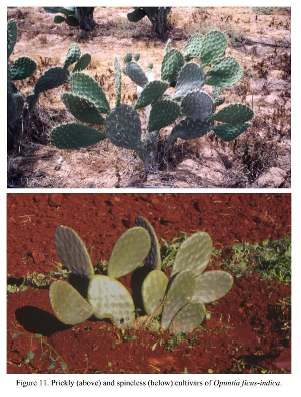 note_pics/DesertIN-Atriplex-and-Opuntia-in-WANA/Fig-11-Opuntia-spineless-and-spines.JPG