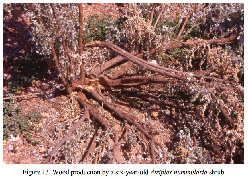 note_pics/DesertIN-Atriplex-and-Opuntia-in-WANA/Fig-13-Wood-production-of-6-year-old-Atriplex.JPG